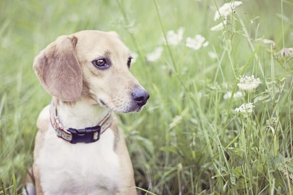 © Sweet Rocket Photography, Freed-Beagle