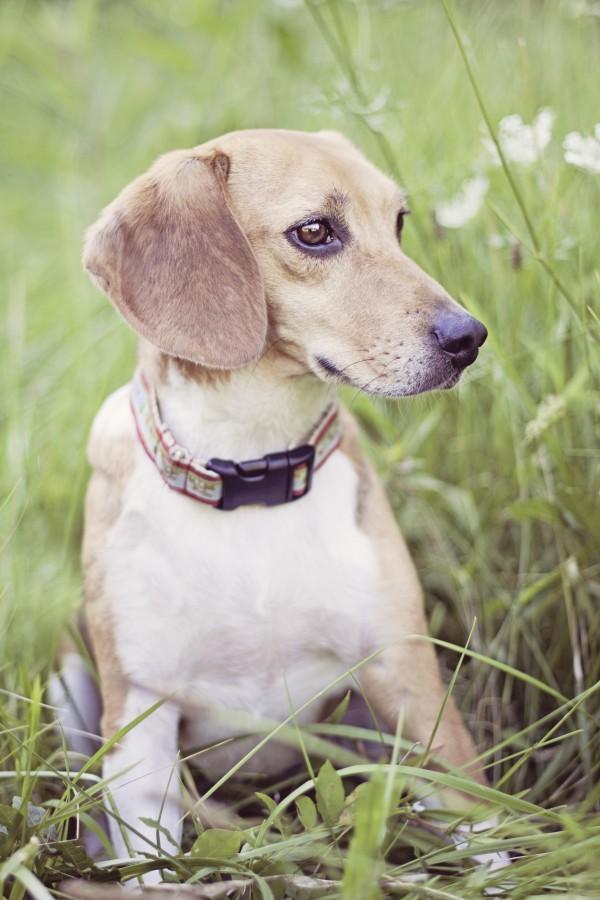 © Sweet Rocket Photography, Sweet-Beagle-animal-testing