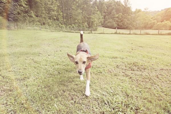 © Sweet Rocket Photography, Beagle-enjoying-newfound-freedom