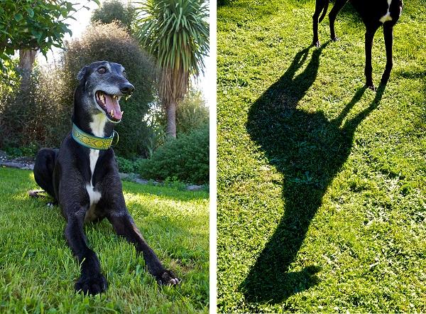 © Furtography - Pet Portraits, senior-Greyhound