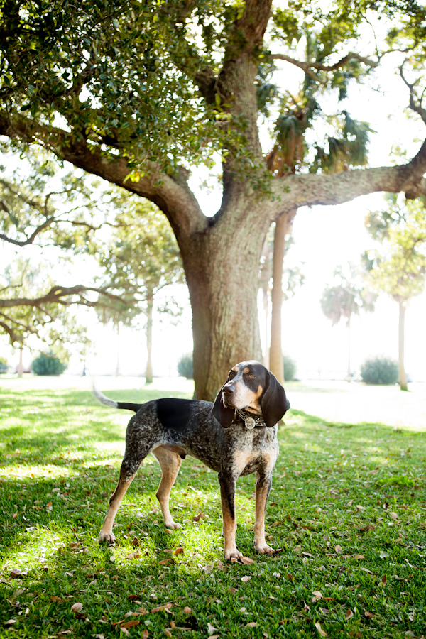 © Nuance Pet Photos, rescued-Black-Tan-Coonhound
