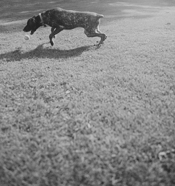 © StudioFido, Adopt-Autumn-from-Illinois-Shorthair-Rescue