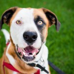 Adopt-Max-St-Bernard-mix-San-Diego-County-Animal-Services