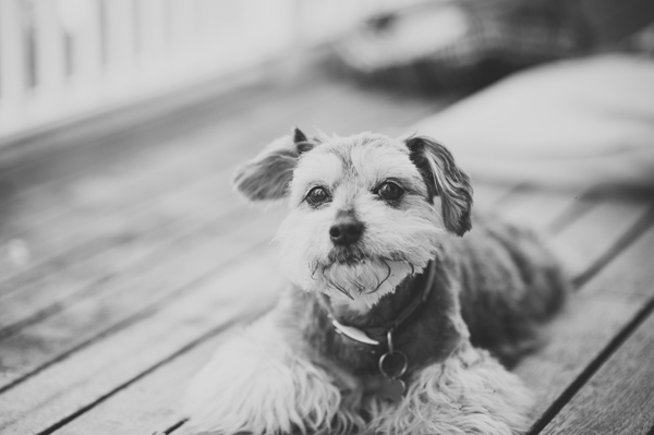 © Willow & Co, adorable-Schnauzer-mix-portraits