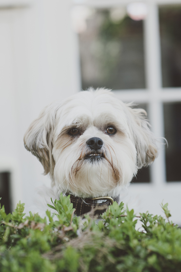 © Willow & Co,  Shih-tzu-Maltese-Mixed-breed