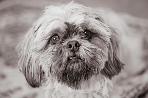 © Alice G Patterson Photography, Syracuse-Lifestyle-Photography,Shih-Tzu-portrait
