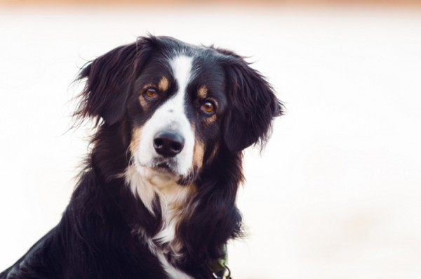 © Bouncing Light Photography, Border-Collie-Mixed-breed