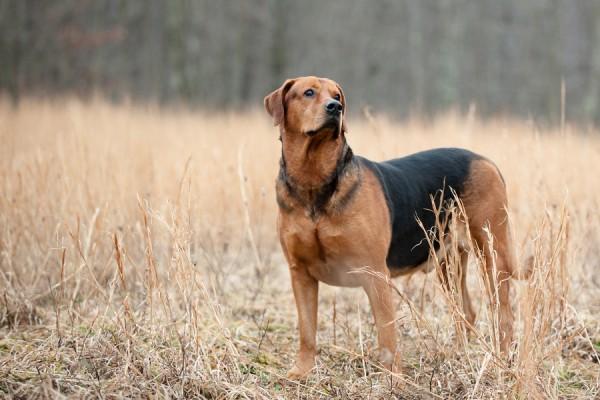 © Custom Portraits by Charlene, senior-Doberman-Labrador-mixed-breed
