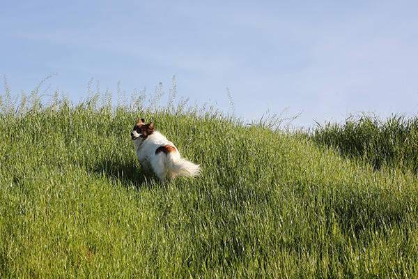 © Katherine Carver Photography, Papillon-in-tall-grass, on-location-dog-photographer