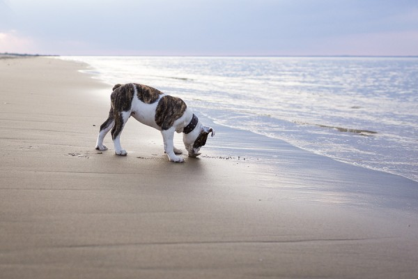 © Good Doggy Photography, English-Bulldog-Puppy-at-beach