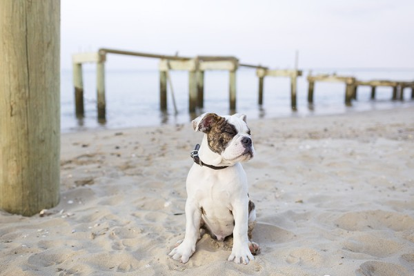 © Good Doggy Photography, Bulldog-at-beach, modern-dog-photography