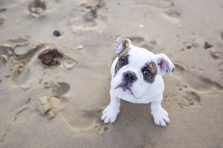 © Good Doggy Photography, English-Bulldog-at-beach