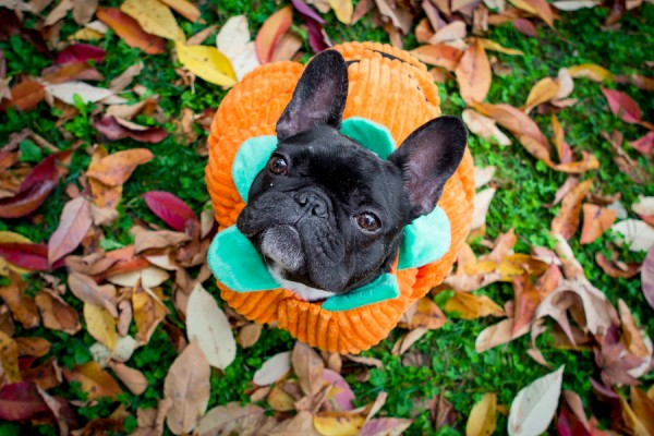 © Samantha Ong Photography,  French-Bulldog-in-pumpkin-costume