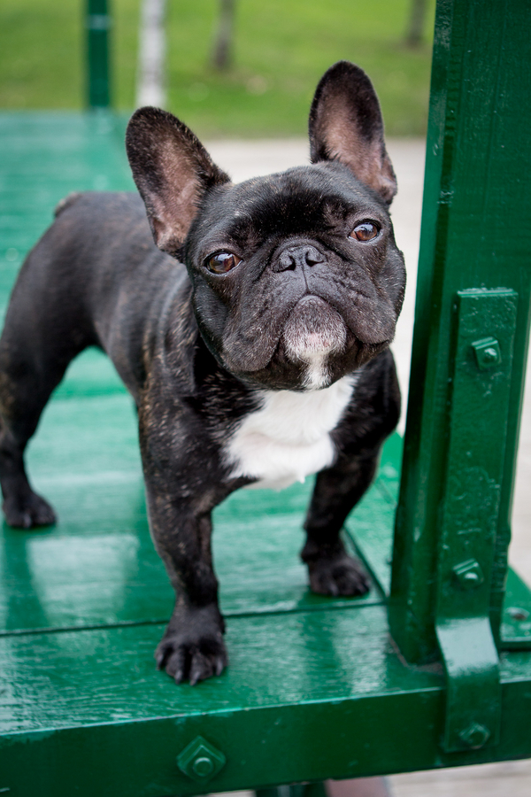 © Samantha Ong Photography, French-Bulldog-lifestyle-photography