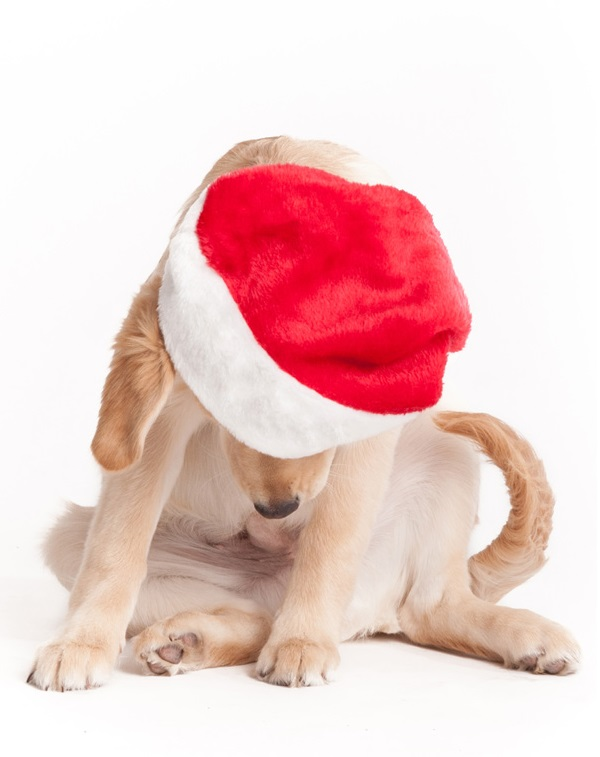 © Alice G Patterson Photography, Santa Puppy