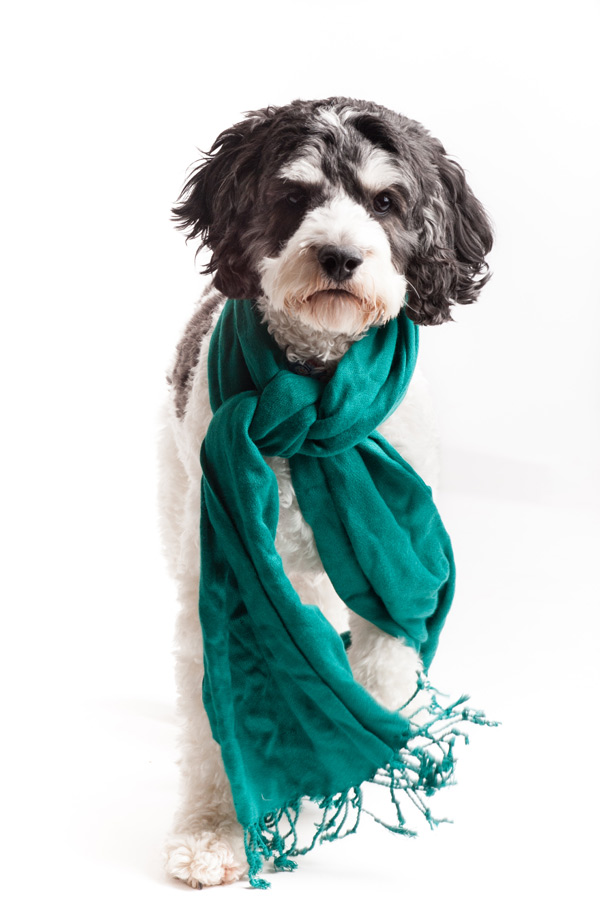 © Alice G Patterson Photography, handsome-dog-in-scarf