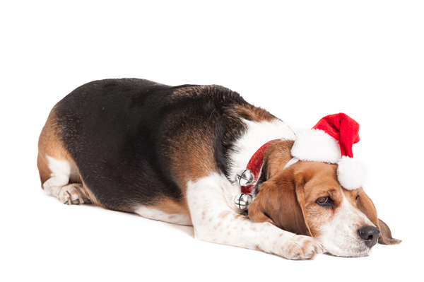 © Alice G Patterson Photography, Beagle in Santa hat