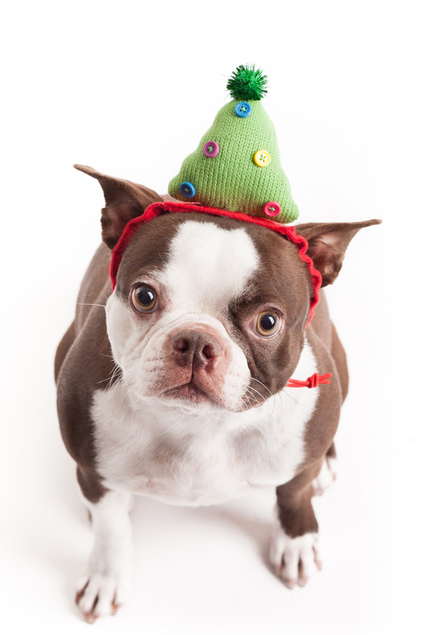 © Alice G Patterson Photography. Boston-Terrier-Christmas-Hat
