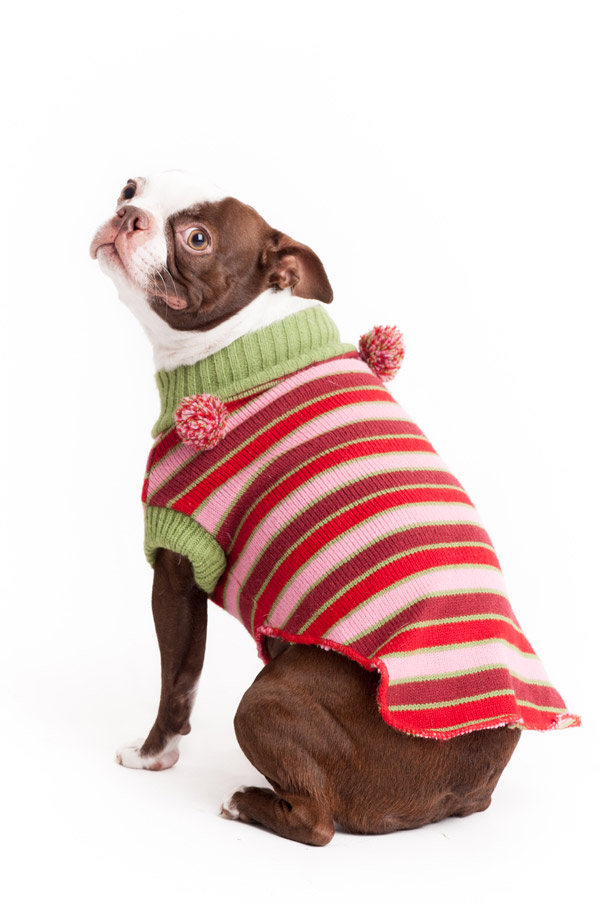 © Alice G Patterson Photography, Boston-Terrier-Christmas-sweater
