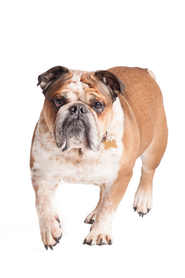 © Alice G Patterson Photography, Handsome-Bulldog, dog-Studio-Portraits