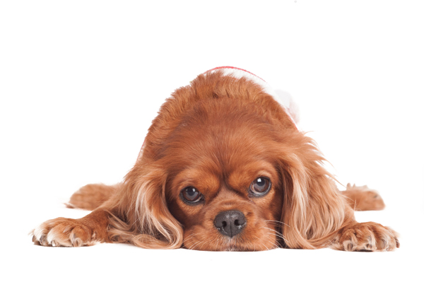 © Alice G Patterson Photography, King-Charles-Spaniel-portrait
