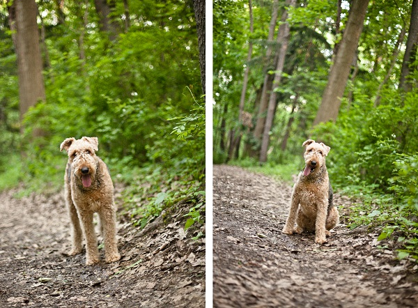 © Custom Portraits by Charlene, Airedale-in-woods
