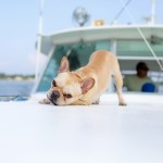 © Carley Rehberg Photography, Frenchie-on-boat