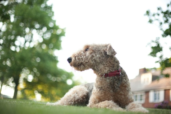 © Custom Portraits by Charlene, regal-Airedale