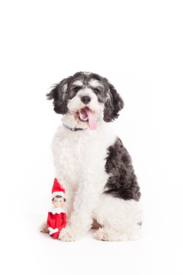 © Alice G Patterson Photography, Elf-on-the-dog-Holiday-Pet-photographer