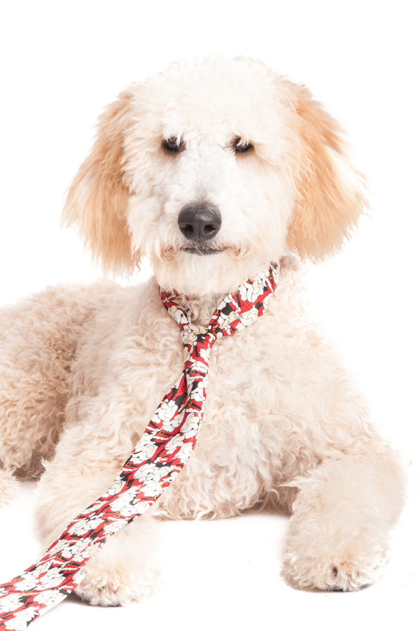 © Alice G Patterson Photography, Goldendoodle-Holiday-Pet-Pictures
