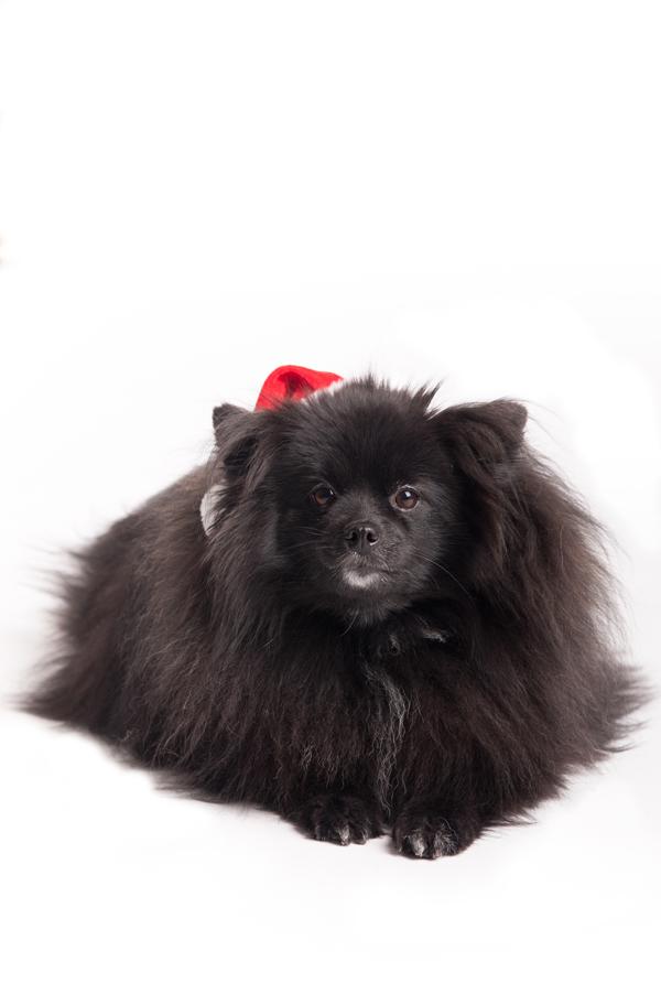 Syracuse-Pomeranian-Photography