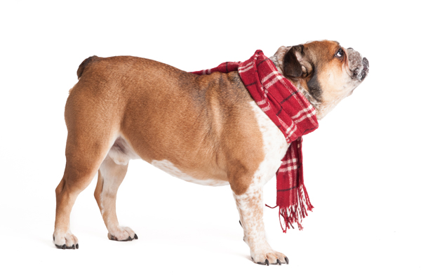 © Alice G Patterson Photography, Handsome-bulldog-wearing-a-scarf