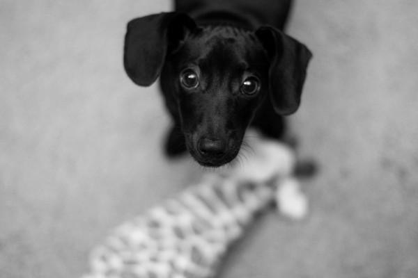 © Emily Lynn Photography, Dachshund-mix-puppy