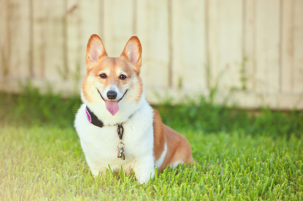 © Hot Dog Pet Photography, Corgi worked as  therapy dog