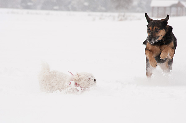 © Alice G Patterson Photography, Dogs-playing-in-snow