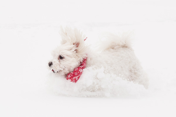 © Alice G Patterson Photography, Maltese-running-in-snow