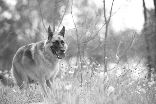 © Petal Photography, | Daily Dog Tag |, German-Shepherd-running