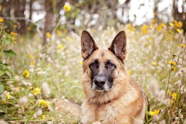 © Petal Photography, | Daily Dog Tag |, German-Shepherd, Lifestyle Pet Photography