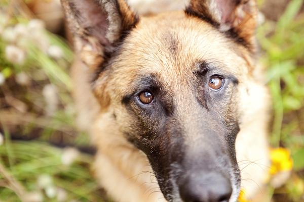 © Petal Photography, | Daily Dog Tag |, German Shepherd portraits