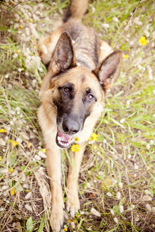 © Petal Photography, | Daily Dog Tag |, German-Shepherd