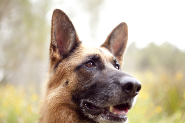 © Petal Photography, | Daily Dog Tag |, German-Shepherd Pet Photography