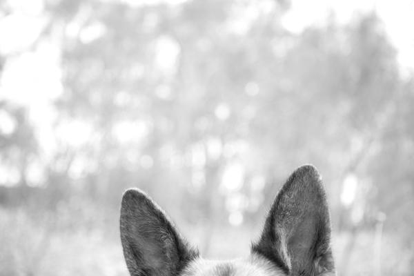 © Petal Photography, | Daily Dog Tag |, German-Shepherd-Ears