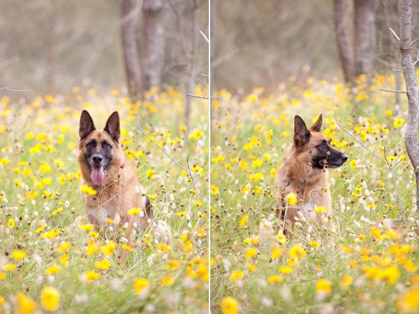 © Petal Photography, | Daily Dog Tag |, Sydney Dog Portraits