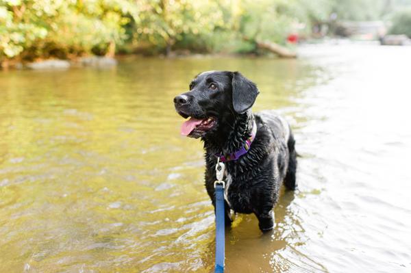 © Caroline Lima Photography, | Daily Dog Tag |, Black-Labrador-Retriever-in-water