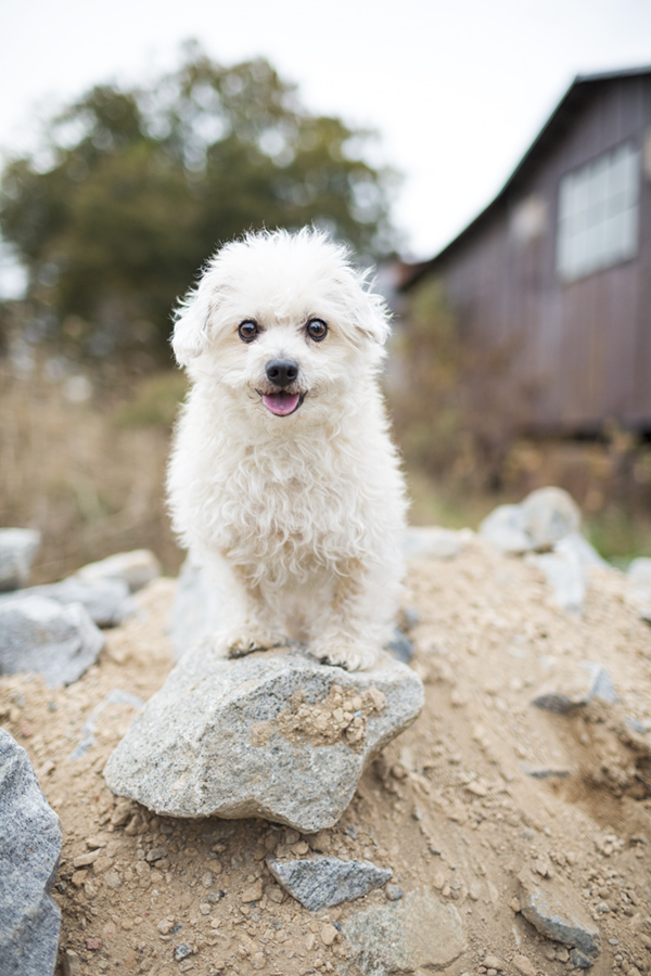 © McGraw Photography | Daily Dog Tag | white-Poodle-mix