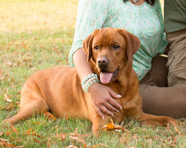 © Gayle Driver Photography | Daily Dog Tag |,  Fox  Red Labrador Retriever