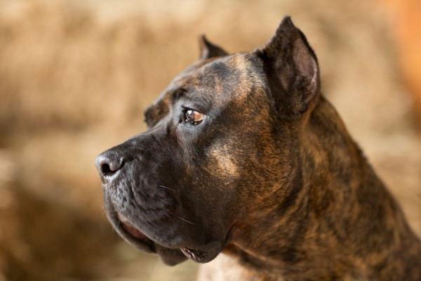 © Gayle Driver Photography | Daily Dog Tag |  Handsome dog, Presa Canario Mastif