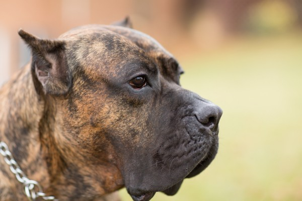 © Gayle Driver Photography | Daily Dog Tag | handsome Presa Canario Mastif