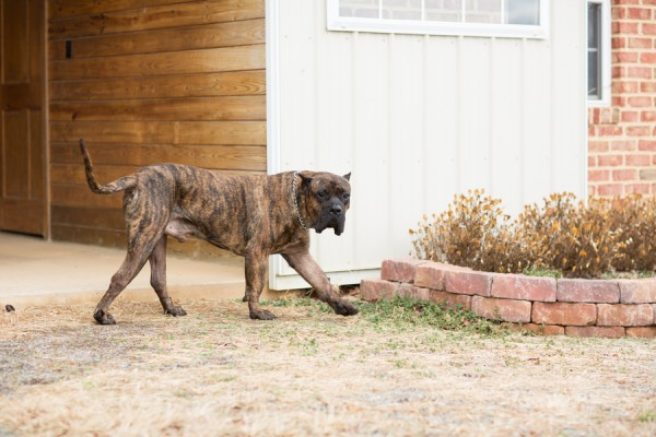 © Gayle Driver Photography | Daily Dog Tag | Presa Canario Mastif