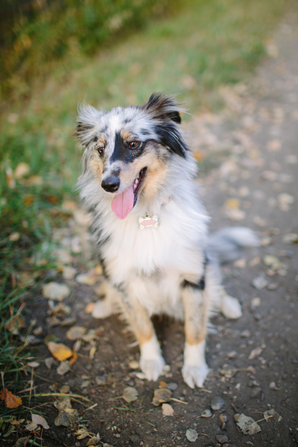 © Davin G Photography, Merle-Sheltie-Miniature-Australian-Shepherd-mix